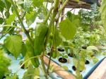 Piments dans hydroponie